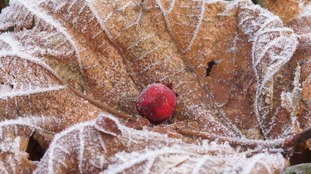 John sent in this photo of a frozen leaf and berry in Hedge End
