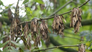 Ash dieback disease has been killing UK trees since 2012.