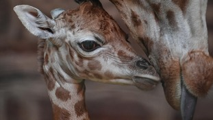 Rare giraffe born on Boxing Day at Chester Zoo
