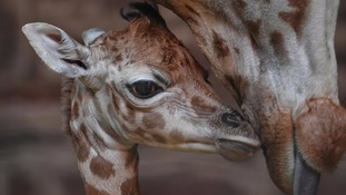 Rare endangered giraffe born on Boxing Day at Chester Zoo