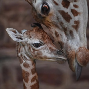 The giraffe calf fell 6ft to the ground when it was born