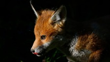 9,000 sign petition calling for fox cull ban in London.