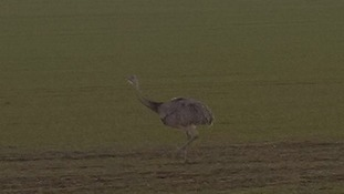A rhea has been spotted closed to the A505 in south Cambridgeshire.
