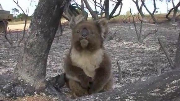 koala has a lucky escape from australian bushfire