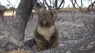 Koala suffers a burnt paw