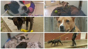 Six Staffies needing homes in Devon