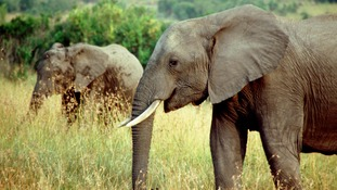 China to shut down ivory trade by end of 2017