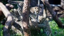 Two rare Amur leopard cubs were born at the zoo this year