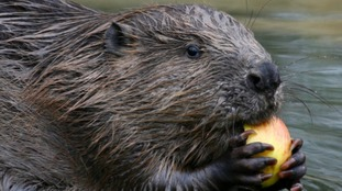 Beavers could be making a comeback in the Welsh countryside
