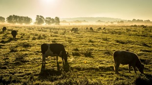 Cows graze on the Somerset Levels near Glastonbury