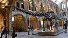 Dippy the Diplodocus at the Natural History Museum.