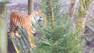 Dudley Zoo animals enjoy left over Christmas trees