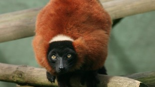 The endangered red ruffed lemur