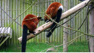A pair of red ruffed lemurs