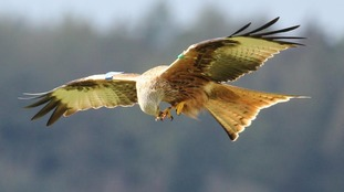 Red kites bring millions of pounds into Dumfries & Galloway