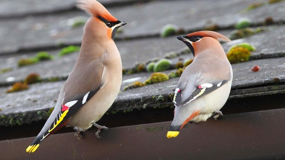The waxwings are travelling through the North West before heading south