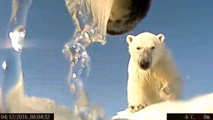 Remarkable footage captures polar bears hunting for food