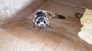 RSPCA rescue seal pup outside Middlesbrough's Riverside stadium