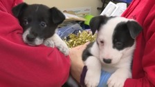 Three puppies were dumped in a recycling box in the woods.