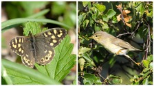 Speckled wood butterflies (L) and willow warblers (R)
