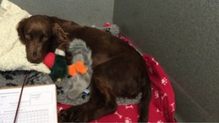 Pup 'Flick' saved after nine blood transfusions