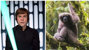 'Jungle Jedi': Star Wars' Luke Skywalker inspires name for new gibbon species
