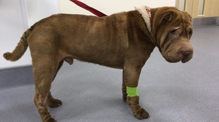 Free facelift saves Shar-Pei Hector's sight