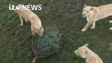 Old Christmas trees make new toys for big cats