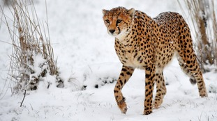 This cheetah remained very composed in the snow.