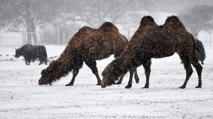 Two camels in the snow at Whipsnade Zoo.