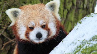 """What's this white stuff?"" Red panda checks out his snowy enclosure."