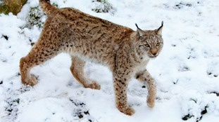 A European lynx exploring the snow.