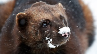 A wolverine with a very chilly nose.
