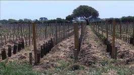 Sark Vineyards closes blaming authorities