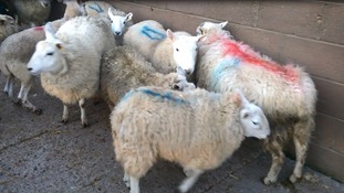 Farmer fined for moving ill sheep causing them 'pain and unnecessary suffering'