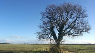 tree in field against clear blue sky