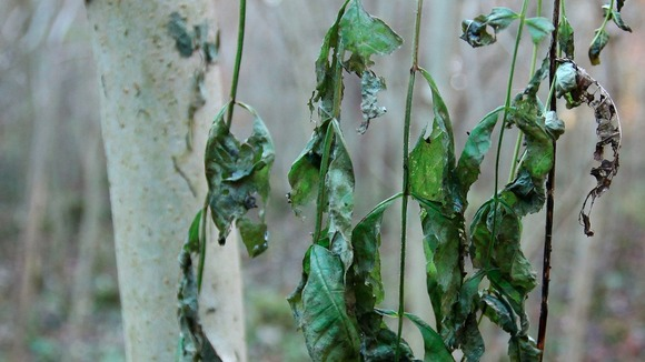Wilting leaves, seen here in this picture, is just one sign that ash dieback has affected the tree