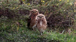 File photo of two burrowing owls at the Rio Olympic Games in Brazil.