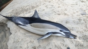 Common dolphin found at St Ives harbour on 10th January.