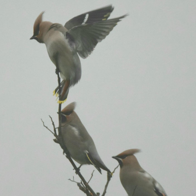 Rare Species Of Birds 'A Waxwing ...
