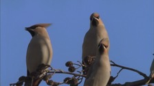 'A Waxwing Winter': Soaring numbers of rare bird species