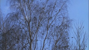 waxwings nesting