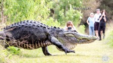 Monster alligator caught on camera in Florida