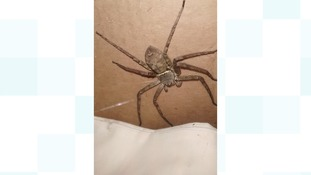 Massive spider discovered in a crate from Japan