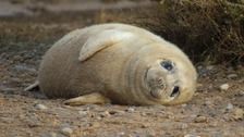Thousands of seal pups born at Blakeney Point since November