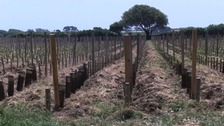 Sark government 'not to blame' for vineyard closure