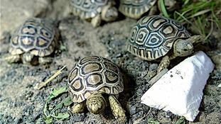 Tiny tortoises born at Somerset farm