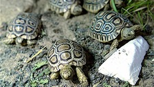 The tortoises are only a few weeks old.