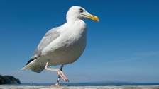 People are often pestered by gulls trying to steal food.