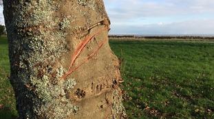 Mystery tree vandal strikes again in Swansea